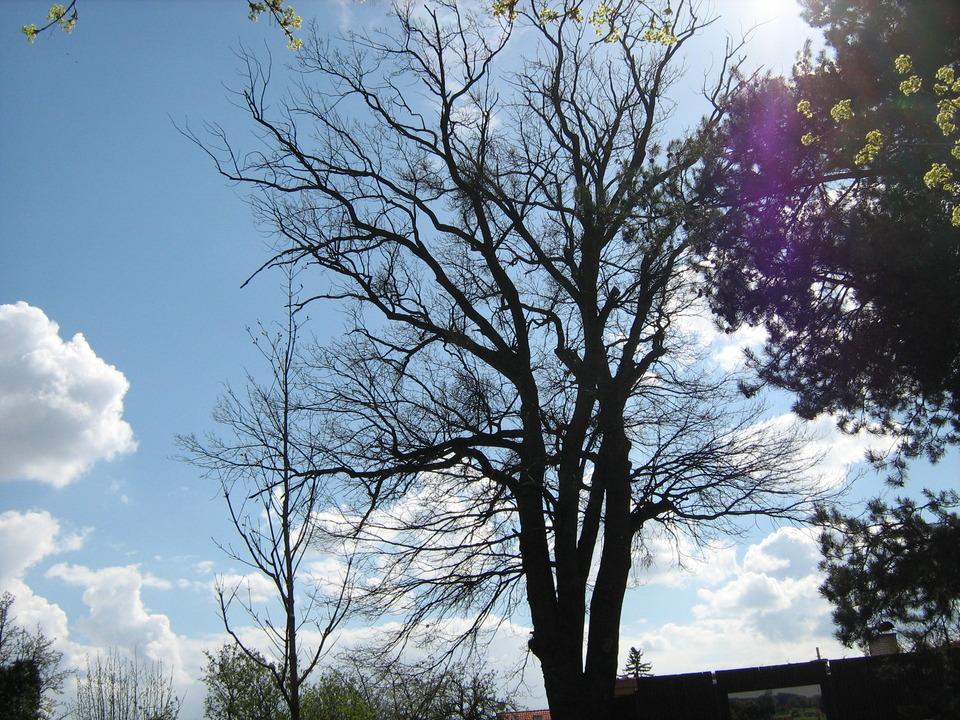 nejstarší dub na Blatově.JPG