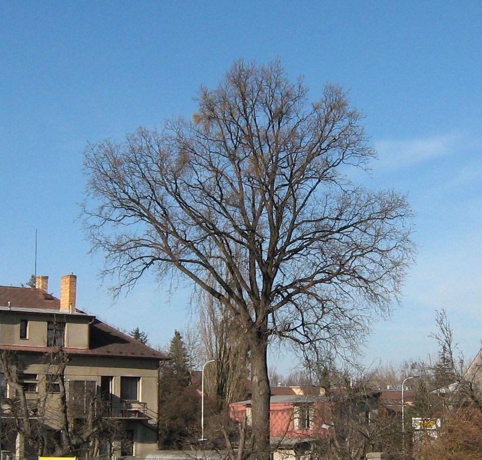 nejstarší dub v centru Újezda nad Lesy.JPG